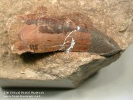 Magalosaurus bucklandi