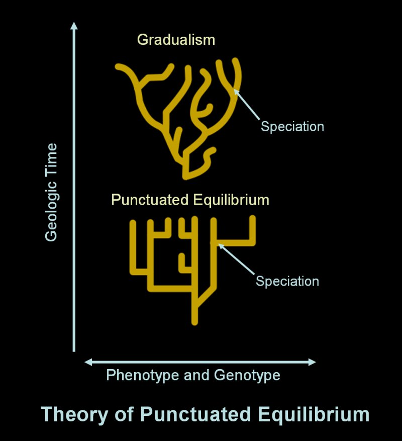 punctuated equilibrium Punctuated equilibrium is a theory in evolutionary biology which proposes that most sexually reproducing species will experience little evolutionary change for most of their geological history (in an extended state called stasis).