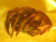 Liocranid Spider in Fossil Amber