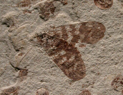 Insect Fossils And Evolution Scorpionfly Insect Fossil