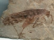 Cretaceous Orthopteran from Cretaceous Liaoning China