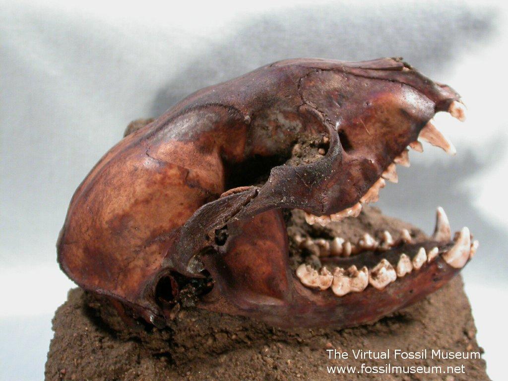 Fossil Raccoon Skull