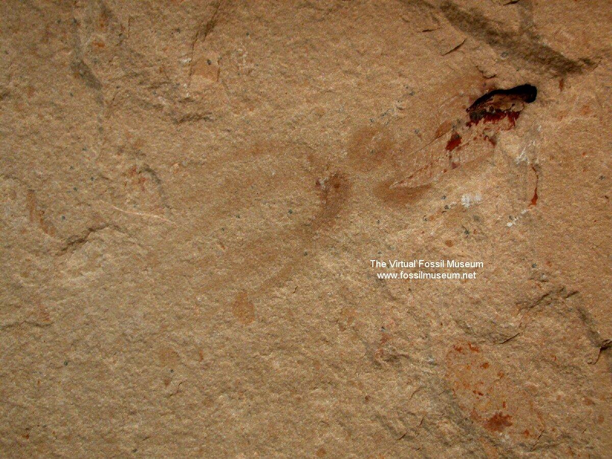 Cretaceous Octopus Fossil