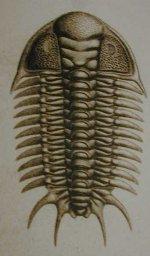 Index of /Tree_of_Life/PhylumArthropoda/Subphylum_trilobita