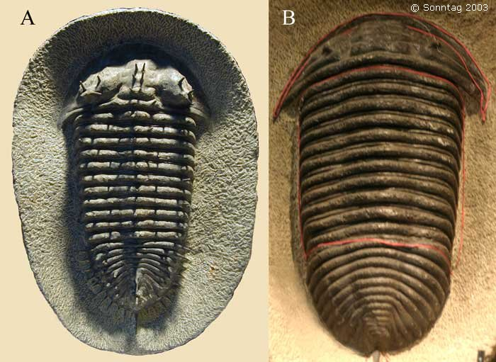Fake trilobites complete fakes could be manufactured in mass according to mr burkhard it is common practice for the moroccans to trade parts of trilobites in order voltagebd Choice Image