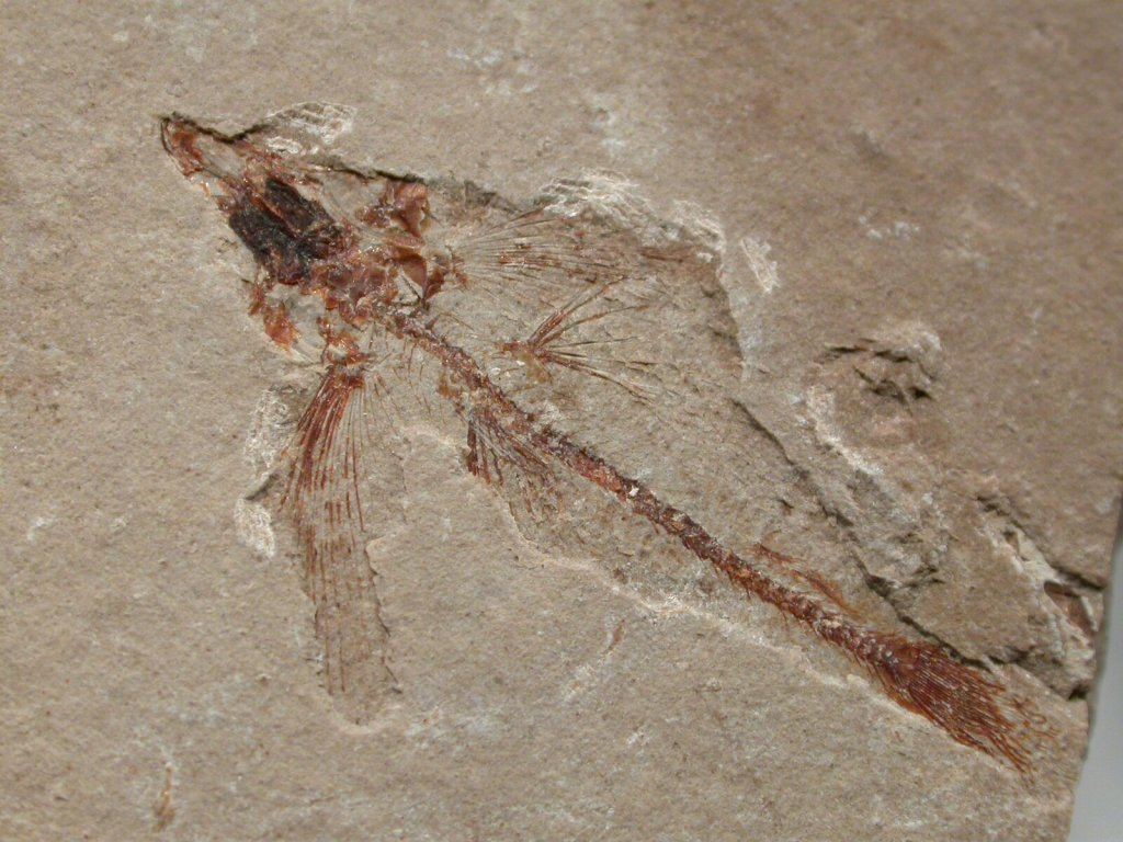 Displaying 17> Images For - Fish Fossils...