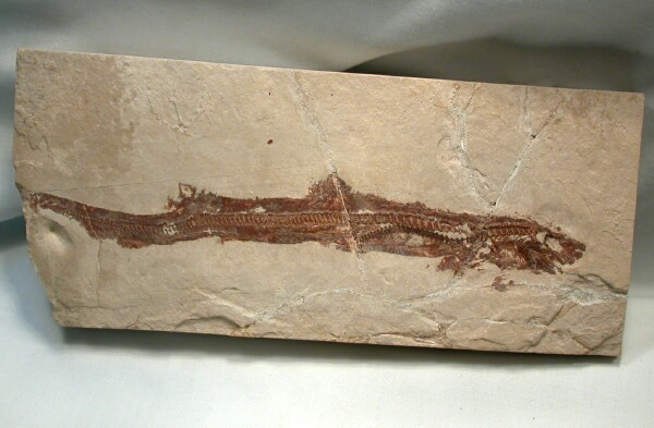 Prehistoric shark fossils - photo#27