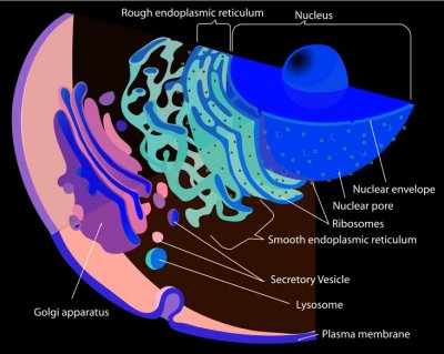 the origin of eukaryotic cells organisms that contain a nucleus and genetic material Ever since the elucidation of the main structural and functional features of eukaryotic cells and subsequent discovery of the endosymbiotic origin of mitochondria and.