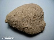 Coral Fossils