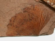 Ginkgo plant fossil